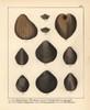 Extinct Bivalve Mollusks: Pholadomya And Terebratula Species Poster Print By ® Florilegius / Mary Evans - Item # VARMEL10941116