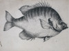 Lepomis Macrochirus  Bluegill Poster Print By Mary Evans / Natural History Museum - Item # VARMEL10708826