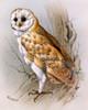 A Barn Owl Poster Print By Malcolm Greensmith ® Adrian Bradbury/Mary Evans - Item # VARMEL10271220