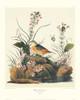 Yellow-Winged Sparrow Poster Print by John James Audubon - Item # VARPDX132806