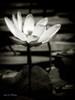Lotus Flower VIII Poster Print by Debra Van Swearingen - Item # VARPDX11591