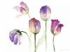 Lavender Hues Tulips II Poster Print by Lanie Loreth - Item # VARPDX12148