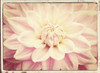 Pink Dahlia 6A Vintage Poster Print by Suzanne Foschino - Item # VARPDXZFRC248A