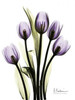 Regal Tulip B13 Poster Print by Albert Koetsier - Item # VARPDXAKRC011E
