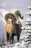 25084, Bighorn Sheep, Winter, Jasper Np, Ab, Canada Poster Print by Thomas Kitchin & Victoria Hurst / Design Pics - Item # VARDPI2070423