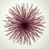 Chrysanthemums flower backlit Poster Print by Assaf Frank - Item # VARPDXAF20100312032C06