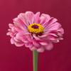Fresh Zinnia flower Poster Print by Assaf Frank - Item # VARPDXAF20140804290C04
