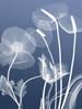Transparent Flora 6 Poster Print by Albert Koetsier - Item # VARPDXAK5RC108H