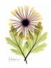 Chrysanthemum in Color Poster Print by Albert Koetsier - Item # VARPDXAKRC020A