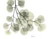 Eucalyptus Sweep Poster Print by Albert Koetsier - Item # VARPDXAKRC571A