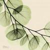 Mint Eucalyptus 2 Poster Print by Albert Koetsier - Item # VARPDXAKSQ173B