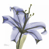 Lily in  Purple Poster Print by Albert Koetsier - Item # VARPDXAKXSQ317D