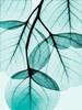Teal Eucalyptus Poster Print by Albert Koetsier - Item # VARPDXAKZRC366A2