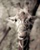 Giraffe whats up Poster Print by Davis Ashley Davis Ashley - Item # VARPDXDARC032