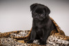 10 week old black Pug puppy curled up in a spotted blanket.  Poster Print by Janet Horton - Item # VARPDDUS48JHO0475