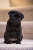 10 week old black Pug puppy sitting on a carpeted stairwell.  Poster Print by Janet Horton - Item # VARPDDUS48JHO0479