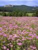 USA, South Dakota, Black Hills. Blooming horsemint flowers cover hillside. Poster Print by Jaynes Gallery - Item # VARPDDUS42BJY0098