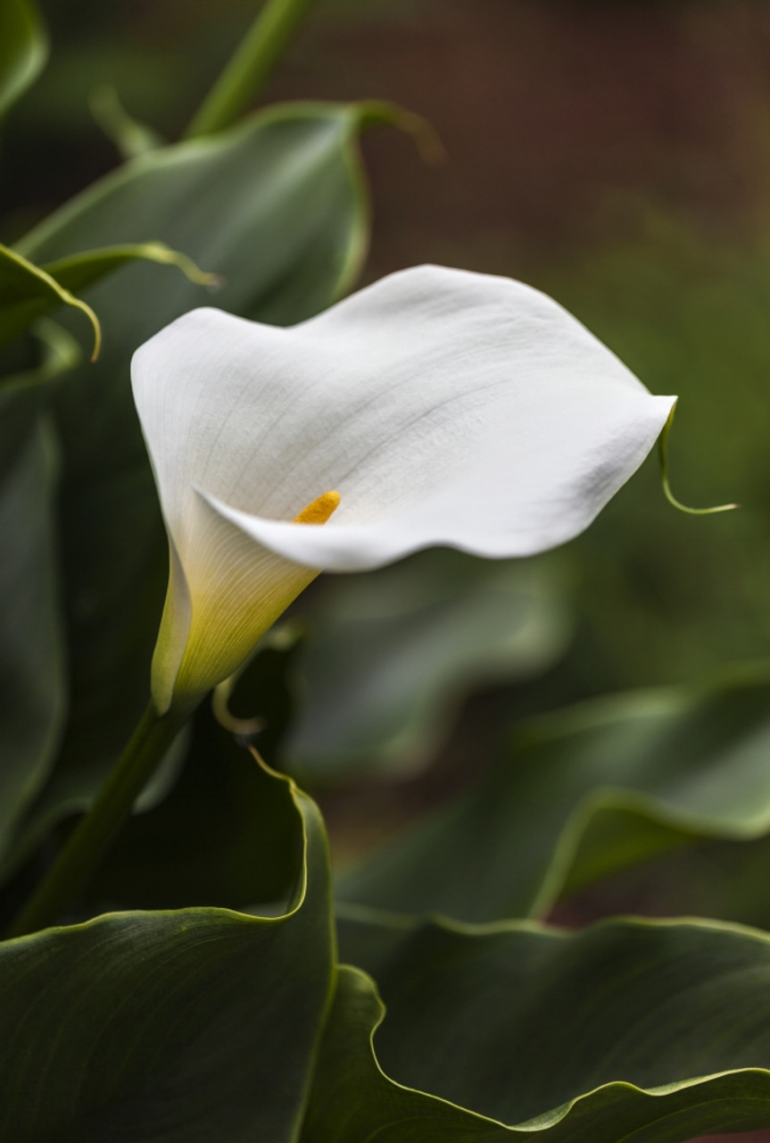 A White Zantedeschia Aethiopica Known As Calla Lily And Arum Lily