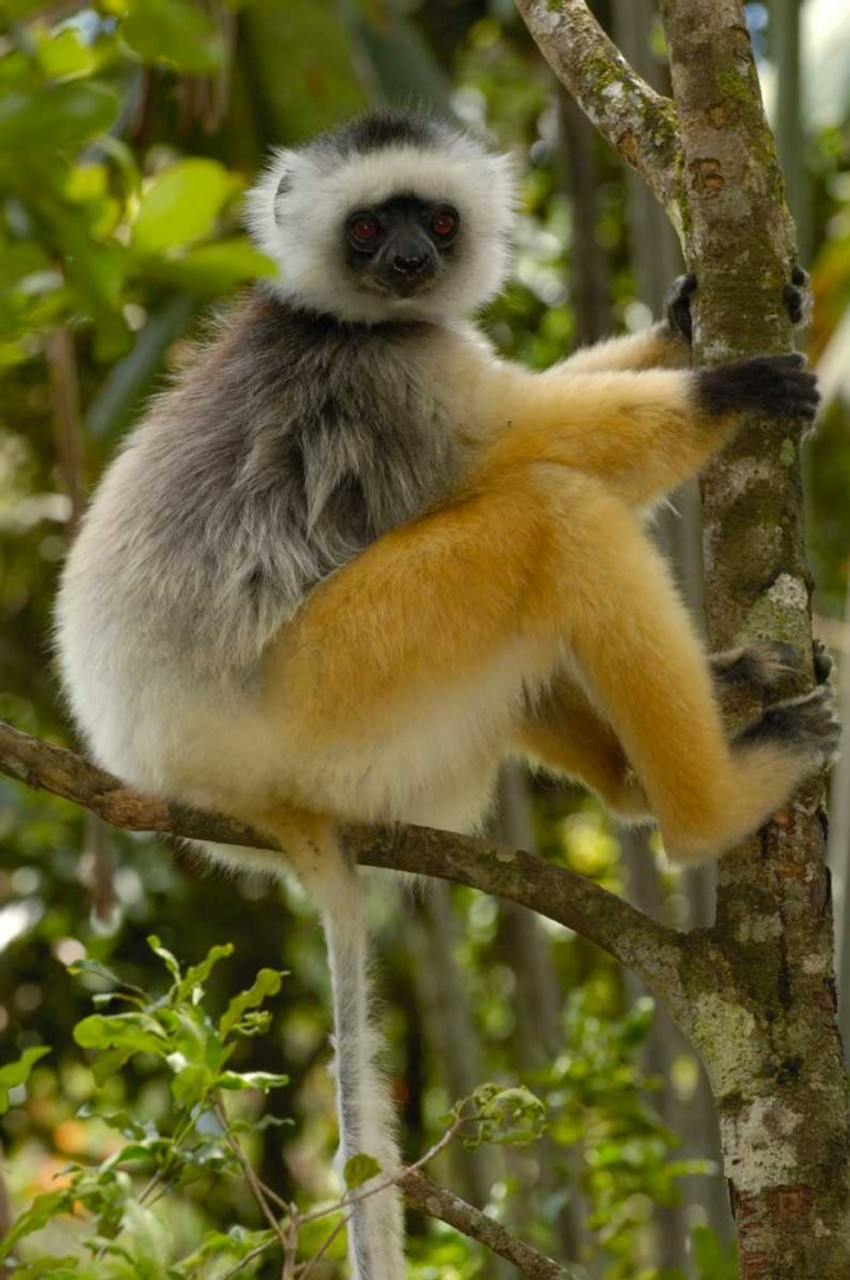 20 x 28 Diademed Sifaka Mantadia National Park Madagascar Poster Print by Pete Oxford