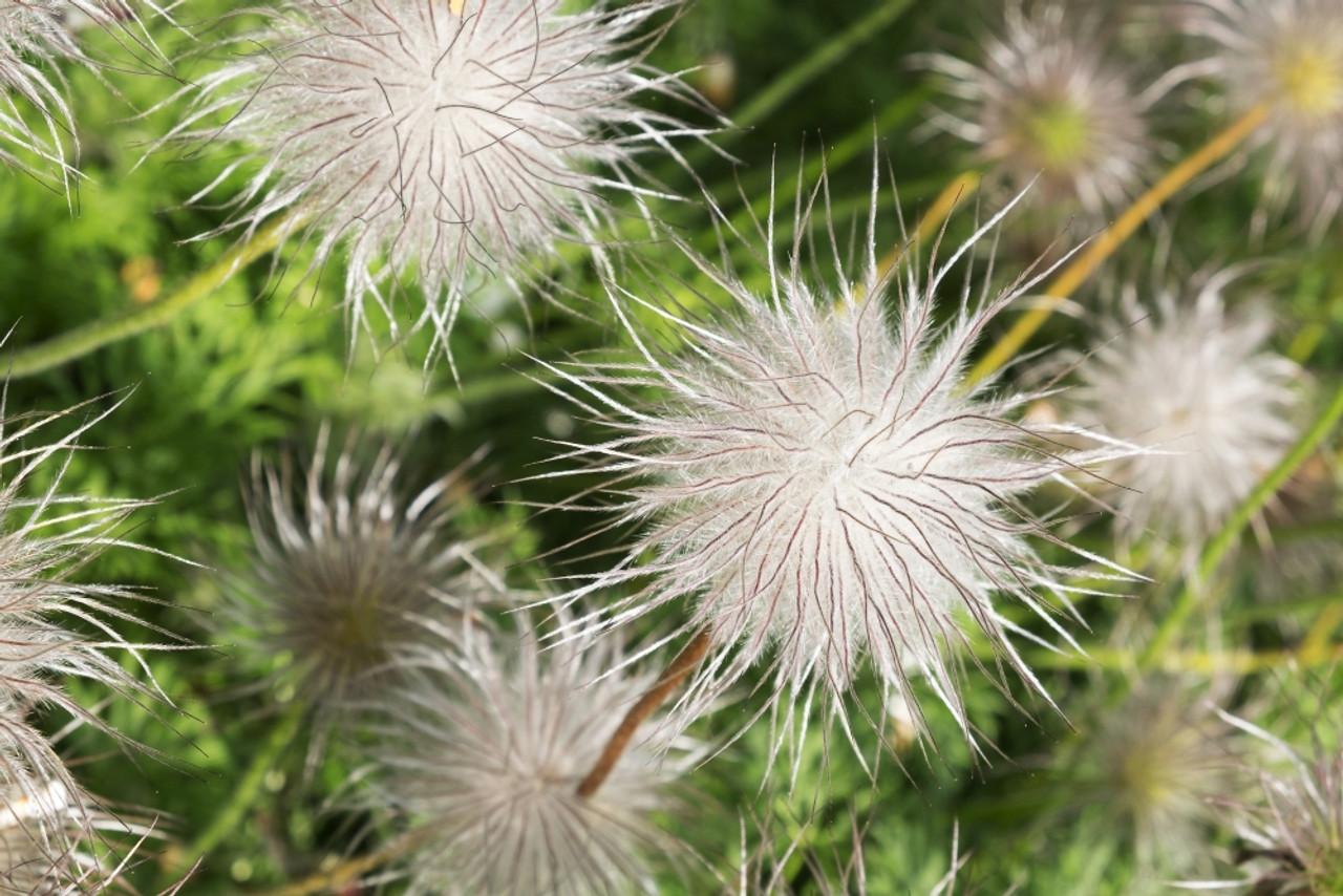 Pulsatilla Vulgaris A Poisonous Plant In The Alnwick Garden