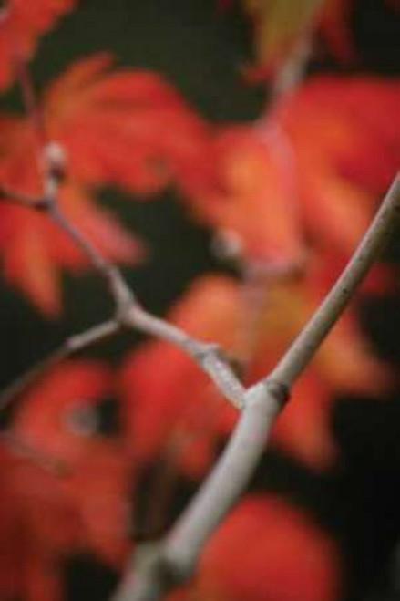 Autumn Tree Dance II Poster Print by Vitaly Geyman - Item # VARPDXPSVIT328