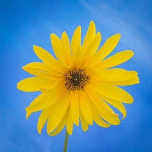 Sunflower on Blue II Poster Print by Kathy Mahan - Item # VARPDXPSMHN452