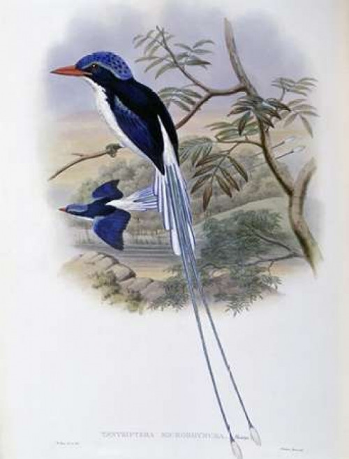 Port-Moresby Racket-Tailed Kingfisher Poster Print by  John Glover - Item # VARPDX277778