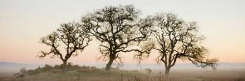 Oak Tree - 30 Poster Print by Alan Blaustein - Item # VARPDXABSFH49