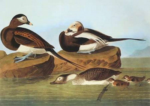 Long-Tailed Duck Poster Print by  John James Audubon - Item # VARPDX198128