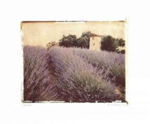 Lavender Poster Print by Amy Melious - Item # VARPDXMEL088