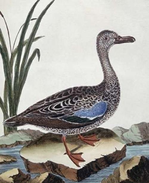 Sarcelle - Duck De Cayenne Poster Print by  Georges-Louis Leclerc Buffon - Item # VARPDX276932