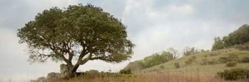 Oak Tree - 76 Poster Print by Alan Blaustein - Item # VARPDXABSFH76B