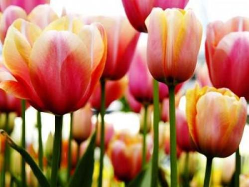 Tulips Poster Print by PhotoINC Studio - Item # VARPDXIN30888