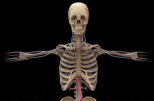 3D rendering of human circulatory system from the waist up Poster Print - Item # VARPSTSTK701165H