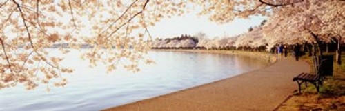 Cherry Blossoms Poster Print by Panoramic Images (38 x 12) - Item # PPI77625