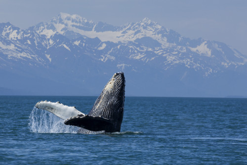 Humpback whale calf breaching in Lynn Canal with the Chilkat Mountains in the background, Southeast Alaska PosterPrint - Item # VARDPI12251576