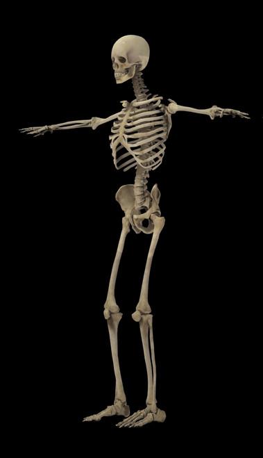 3D rendering of human skeletal system, side view Poster Print - Item # VARPSTSTK701178H