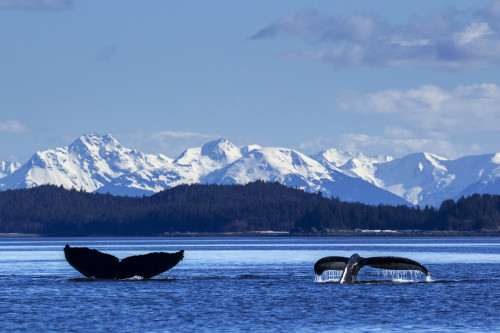 A pair of Humpback Whale tails as they dive beneath the surface, Lynn Canal, Inside Passage, Southeast Alaska PosterPrint - Item # VARDPI12251582