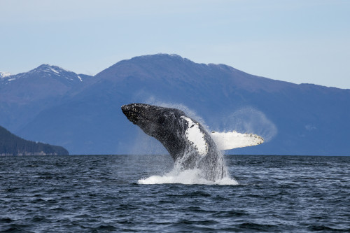 A Humpback Whale Breaches As It Leaps From The Calm Waters Of Stephens Passage Near Tracy Arm In Alaska's Inside Passage. Admiralty Island's Forested Shoreline Beyond, Tongass Forest. PosterPrint - Item # VARDPI2332273