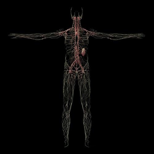 3D rendering of human lymphatic system Poster Print - Item # VARPSTSTK701175H