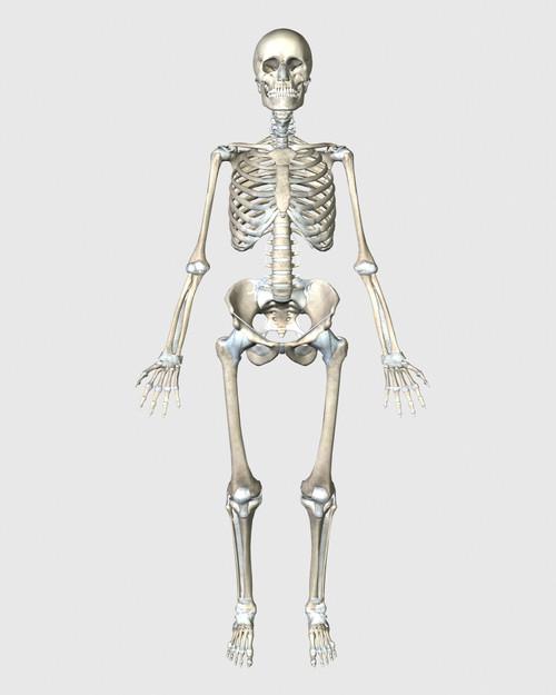 Front view of human skeletal system Poster Print - Item # VARPSTSTK701152H