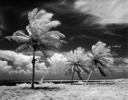 1960s Infrared Scenic Photograph Of Tropical Palm Trees Blowing In Storm Florida Keys Usa Print By Vintage Collection - Item # PPI194058LARGE