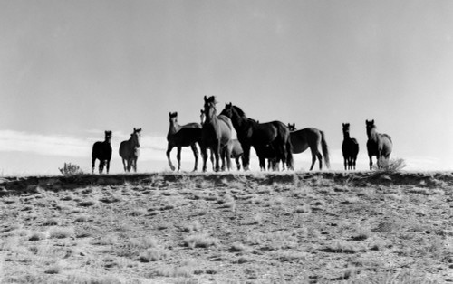 1950s Large Group Of Wild Horses In Open Field Poster Print By Vintage Collection (24 X 40) - Item # PPI187814LARGE