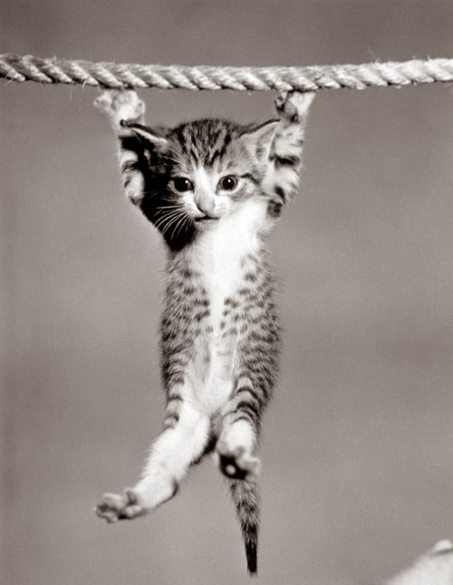 1950s Little Kitten Hanging From Rope Looking At Camera Poster Print By Vintage Collection (22 X 28) - Item # PPI172412LARGE