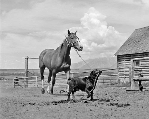 1950s-1960s Black Dog Leading Horse By Holding Rope Halter In His Mouth Poster Print By Vintage Collection - Item # VARPPI177400
