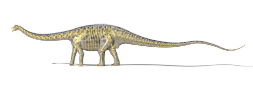 3D rendering of a Diplodocus dinosaur with full skeleton superimposed. Diplodocus was a giant herbivorous dinosaur of the late Jurassic period Poster Print - Item # VARPSTVET600019P