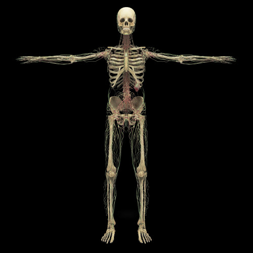 3D rendering of human lymphatic system with skeleton Poster Print - Item # VARPSTSTK701174H