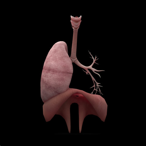 3D rendering of human lungs with respiratory tree and diaphragm Poster Print - Item # VARPSTSTK701163H