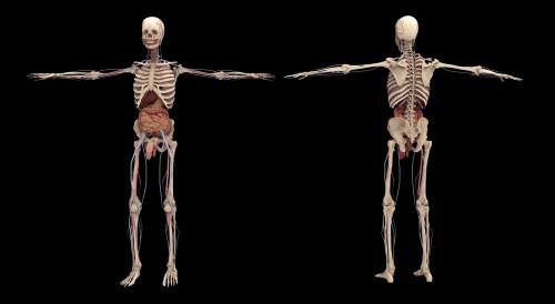 3D rendering of human skeleton with internal organs Poster Print - Item # VARPSTSTK701160H