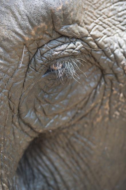 Elephant eye; Chiang Mai, Thailand PosterPrint - Item # VARDPI2384162